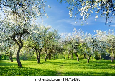 Beautiful old apple tree garden blossoming on sunny spring day. Blooming apple trees over bright blue sky.