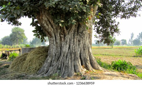 Beautiful old Banyan tree stem for backgrounds