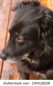 A beautiful, old black and white dog with a gray muzzle looking off into the distance with a sad expression on her face