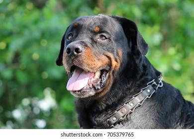 Beautiful Old Dog Rottweiler