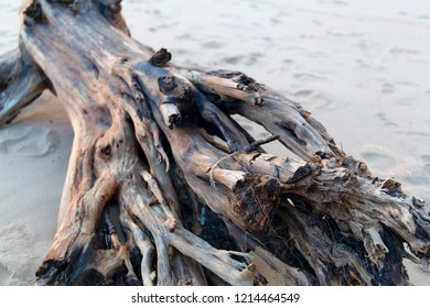 Beautiful old fallen sea washed tree trunk roots
