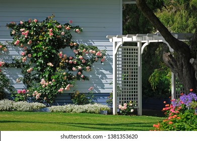 Beautiful old fashion garden, with white trellis, climbing rose , pale lilac timber wall, and cut lawn.