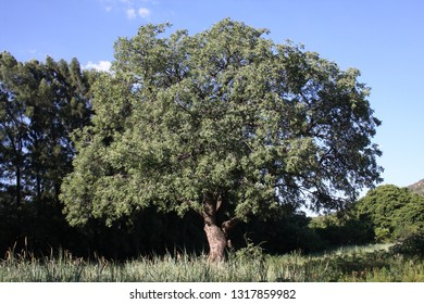 Beautiful old, fruit bearing, Sclerocarya birrea, commonly known as the marula tree, South Africa.