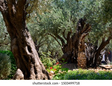 Beautiful old green olive trees in the Garden of Gethsemane, Jerusalem, Israel.
