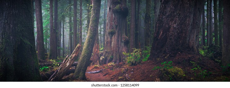 a beautiful old growth forest scene on the west coast of Vancouver Island.