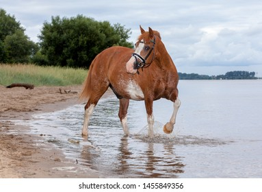beautiful old horse in the coat colour fox with white markings on head and legs with bridle on a beach against grey cloudy sky, he splashes with one foot in the water