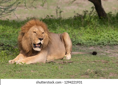 Beautiful old Male Lion in Serengeti Grasslands in Tanzania Africa