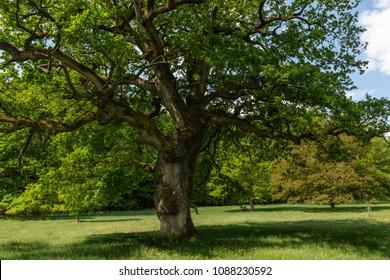 Beautiful old Oak
