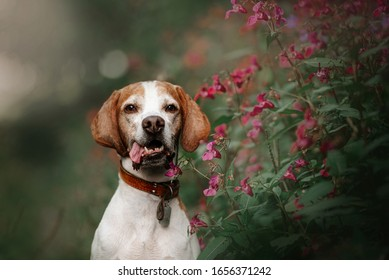 beautiful old pointer dog portrait with summer flowers