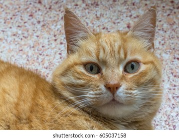 Beautiful old red cat