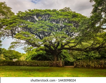 Beautiful old tree in Santa Rosa National Park in Costa Rica