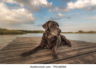 A beautiful but older Labrador lies relaxed on a boat dock with a nice background. Concept: animals