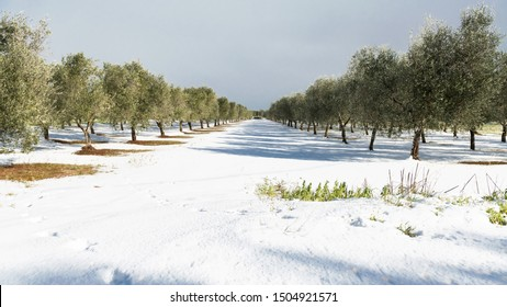Beautiful Olive trees in an olive grove in the snow, Apulian landscape after a snowfall, unusual cold winter in Salento, Avetrana, Italy