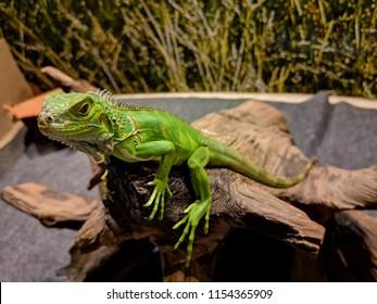 a beautiful green iguana on the log