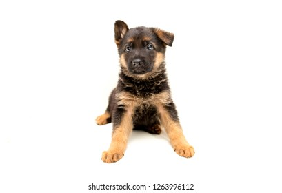 Beautiful one puppy German shepherd. Cute, funny dogs on a white background isolated.