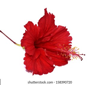 Beautiful one of Red Hibiscus Flower isolated on white background