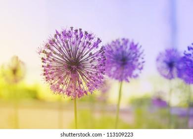 Beautiful Onion (Allium Giganteum) blooming in a garden