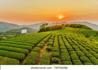 Beautiful Oolong Tea Garden at Alishan in Chiayi,Taiwan