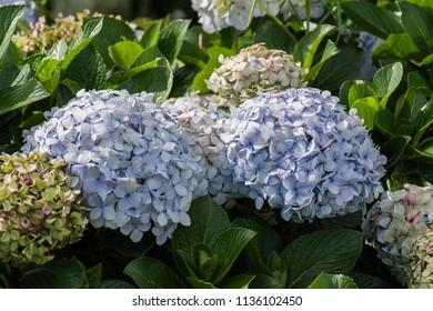 Beautiful oortensia close up colerful