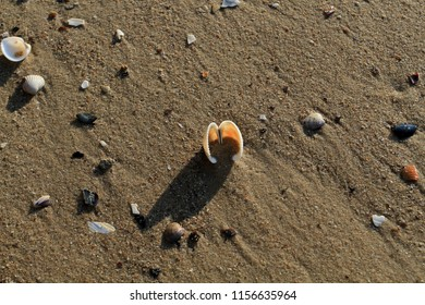 A beautiful open shell lies on the seashore. A pink shell in the sand near the surf line.