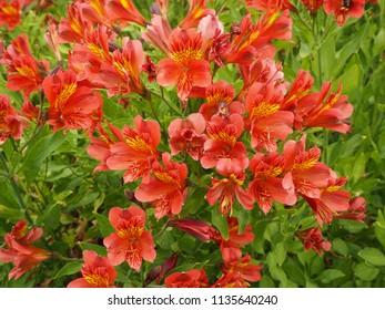 Beautiful orange Alstroemeria flowers  in a garden