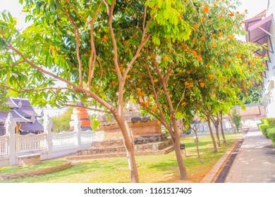 Beautiful orange asoka tree flowers (Saraca indica) on tree with green leaves background. Saraca indica, alsoknown as asoka-tree, Ashok or Asoca, saraca, Sorrowless tree.
