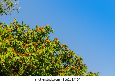 Beautiful orange asoka tree flowers (Saraca indica) on tree with green leaves background. Saraca indica, alsoknown as asoka-tree, Ashok or Asoca, saraca, Sorrowless tree.