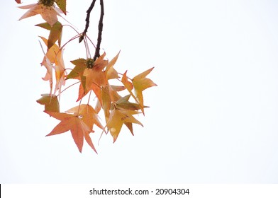 Beautiful orange autumn leaves in white background