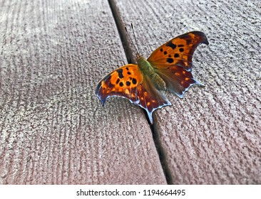 Beautiful orange and black eastern comma Butterfly sitting on a wooden deck also known as anglewing.