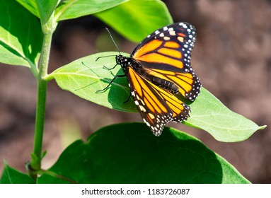 A beautiful orange and black female monarch butterfly rests on the leaf of a milkweed plant