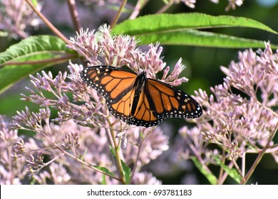 A beautiful orange and black monarch butterfly spreads its wings as it drinks nectar from a native Joe Pye weed blossom in southern West Virginia near Huntington.