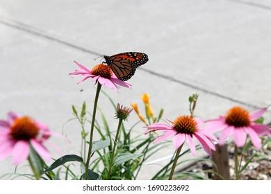 A beautiful orange, black and white Monarch butterfly (Danaus plexippus) also called common tiger or wanderer pollinating pink flowers of Echinacea of daisy family on the Plateau Mont Royal, Montreal.