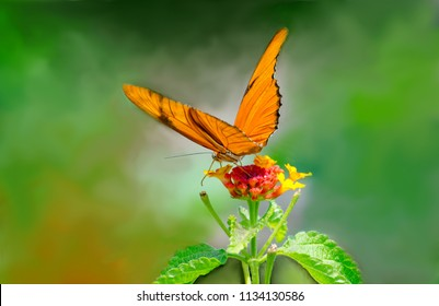 A beautiful orange  butterfly called a Julia, enjoys food from a colorful flower