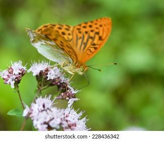 Beautiful orange butterfly on a flower