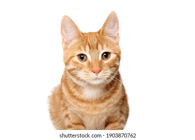 Beautiful orange cat in front of a white background