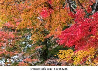 Beautiful orange color of maple leaves in autumn.