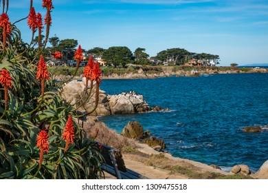 Beautiful orange conical flows of Candelabra Aloe (Aloe arborescens) grow on a bluff overlooking the Monterey Bay of central California, near Lovers Point in Pacific Grove.