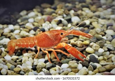 A beautiful orange Crayfish (Crawfish, Freshwater lobster) Procambarus clarkii ghost in freshwater aquarium.