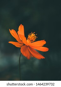Beautiful orange daisy flower closeup. Dark background. Dramatic treatment.