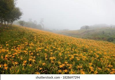 Beautiful orange daylilies (Hemerocallis) blooming in a flower field on the hillside on a foggy summer morning, in Liushidan-Shan Mountain, Fuli, Hualien, Taiwan