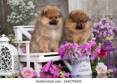 Beautiful orange dog - pomeranian Spitz. Puppy pomeranian dog cute pet happy smile  in flowers