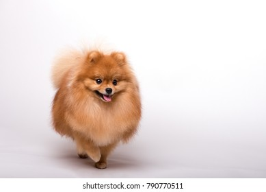 Beautiful orange dog - pomeranian  Spitz