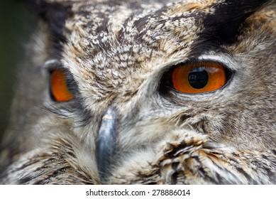 Beautiful orange eyes of eagle owl
