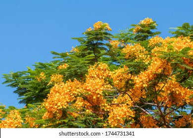 Beautiful orange flower in a garden.Selective focus colorful Delonix Regia flower in the sky background.Also called Royal Poinciana, Flamboyant, Flame Tree.