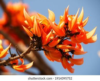 Beautiful orange flowers, Bastard teak, Bengal Kino, Kino tree, Flame of the forest flowers.