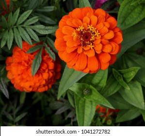 Beautiful Orange Flowers In Full Bloom And In Bud Showing Stamen Detail Contrasting Against Lush Green Foliage Background - Image