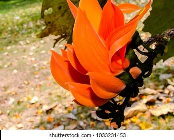 Beautiful orange flowers,Butea monosperma orange flowers in nature park.