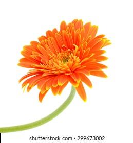 beautiful Orange gerbera flower isolated on white background