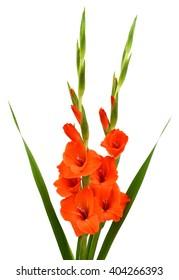 beautiful orange gladiolus flowers isolated on white background