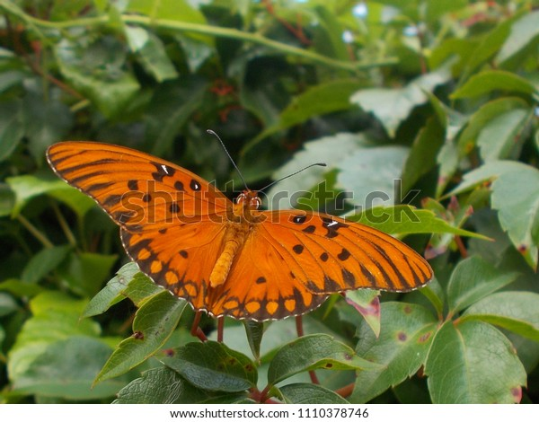 A beautiful orange gulf fritillary butterfly  rests on a Virginia creeper vine. The back view of the open wings shows the pattern and spots of this native butterfly.